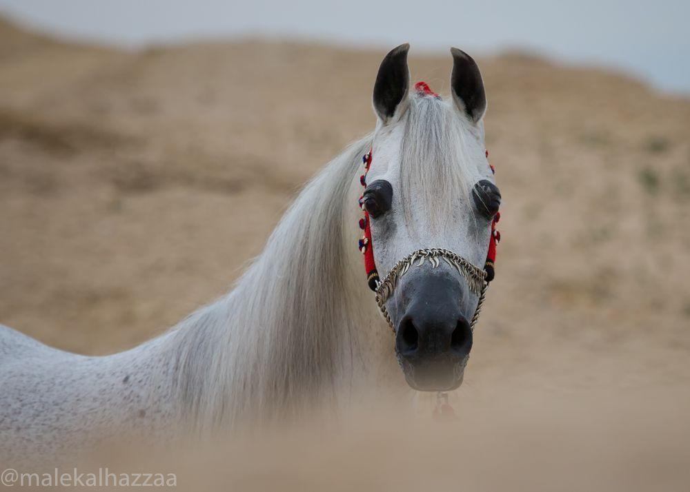 Arabic horse my sweet horse