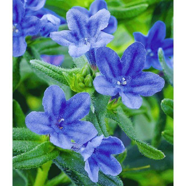 Epic Lithodora uHeavenly Blue u