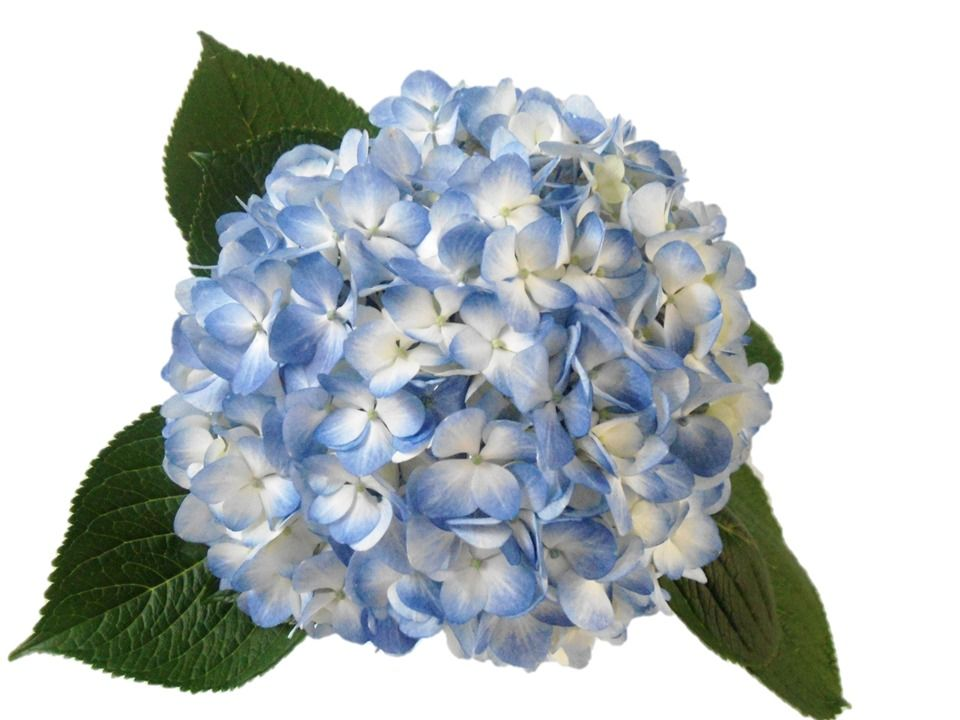 Hydrangea Select Light Blue Forest Flowers Hydrangea Forest Flowers Light