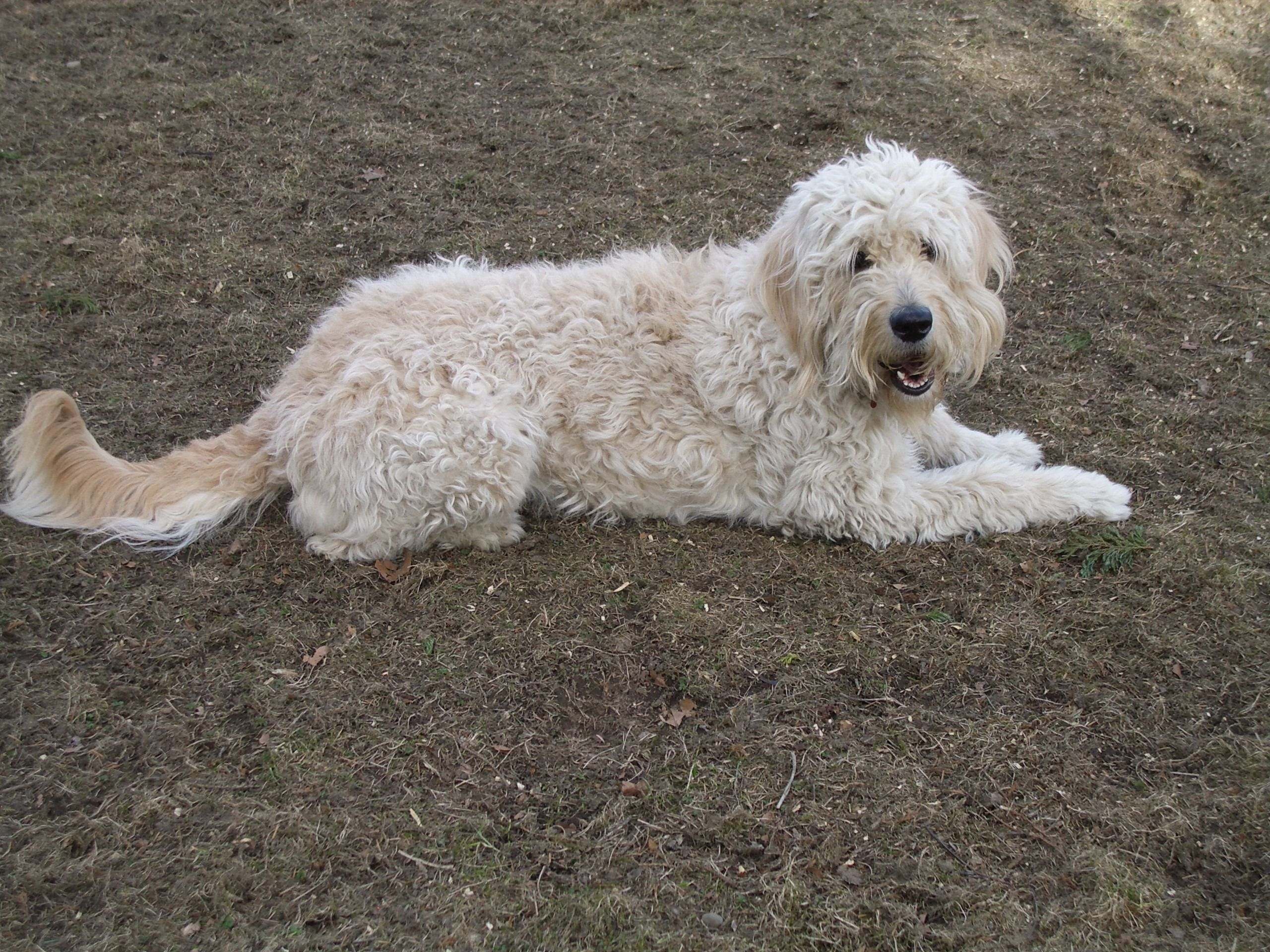 759789ced3 Desktop pics of golden doodle dogs dowload | 3D-HD Wallpaper ...