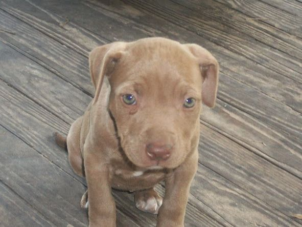 red nose pitbull puppies - Google Search | Pitbull puppies ...