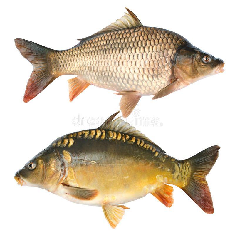 Common carp. Cyprinus carpio. Isolated on white , #ad, #Cyprinus, #carp, #Common, #white, #Isolated #ad