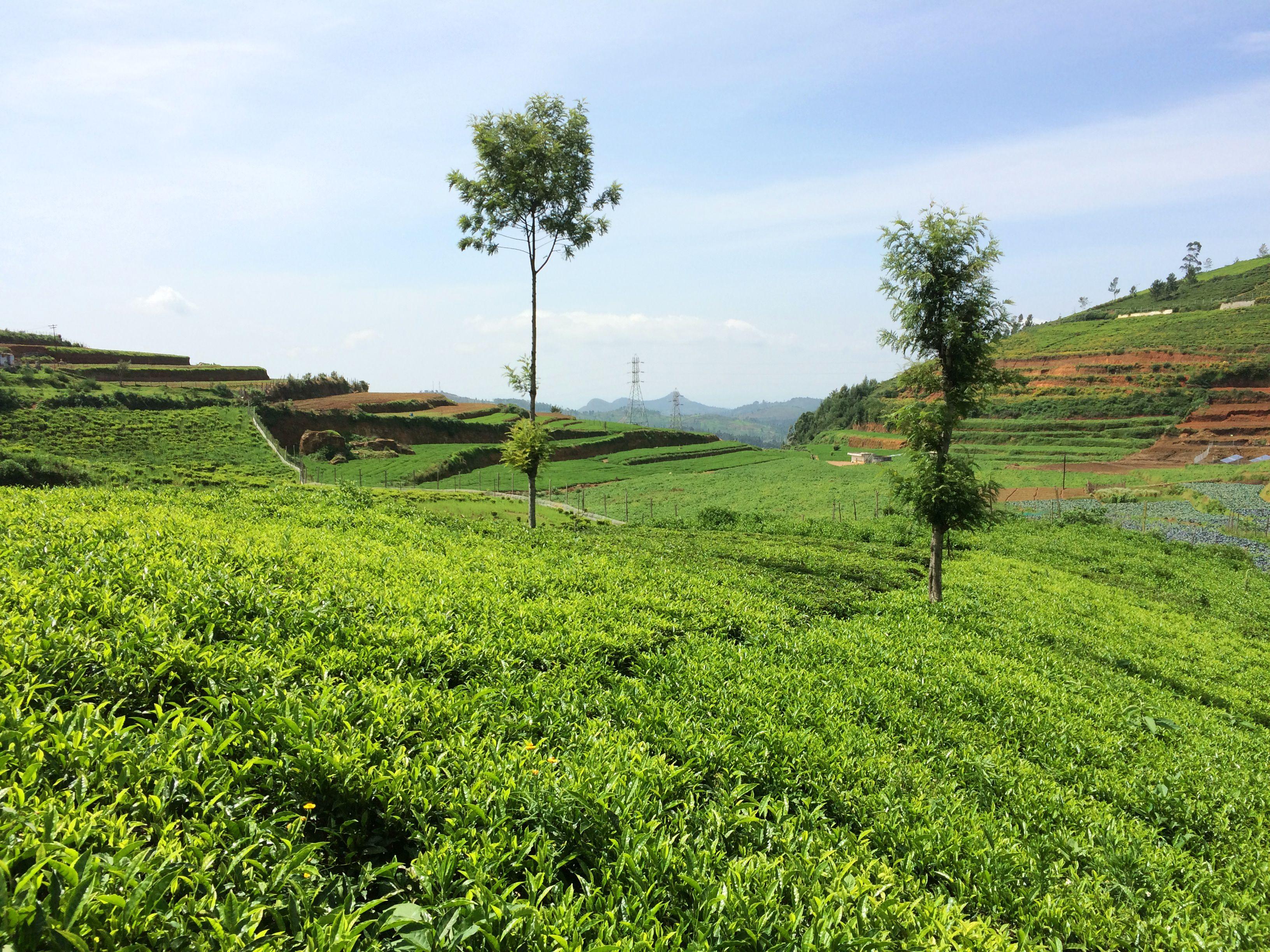 Ooty (Tamil Nadu, India) Tea fields 1