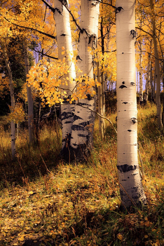 Photo of Aspen trees, fall tree decor, Colorado art, golden aspen trees, rustic wall art, cabin decor, yellow leaves aspens, aspens art | quiet aspen