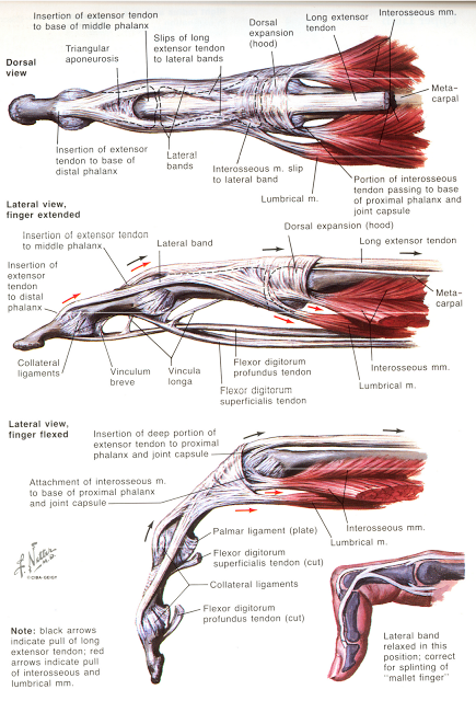 HAND Finger Anatomy | OT Board Exam Study Tools | Pinterest ...
