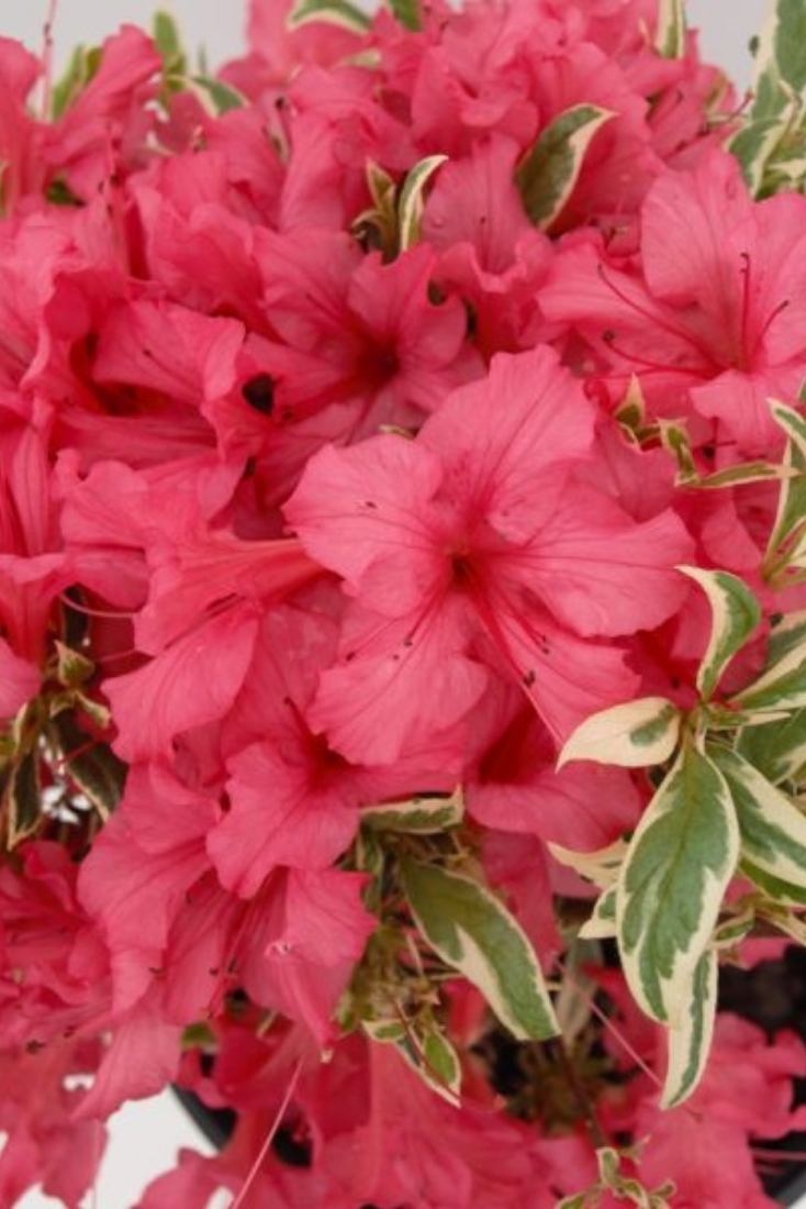 Bollywood® Azalea offers an exciting show of elegant color and ...