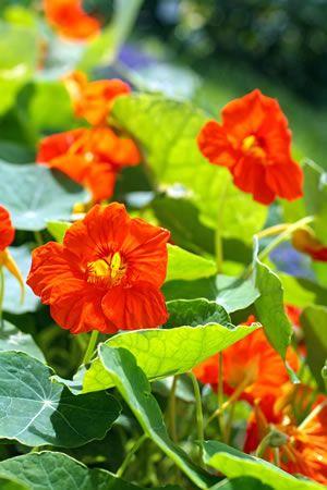 kapuzinerkresse tropaeolum majus aussaat und pflege hexe heilpflanzen medicinal plants. Black Bedroom Furniture Sets. Home Design Ideas
