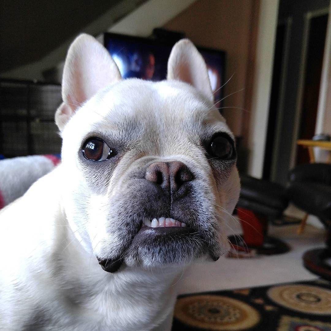 Do I have something in my teeth? frenchbulldog frenchie