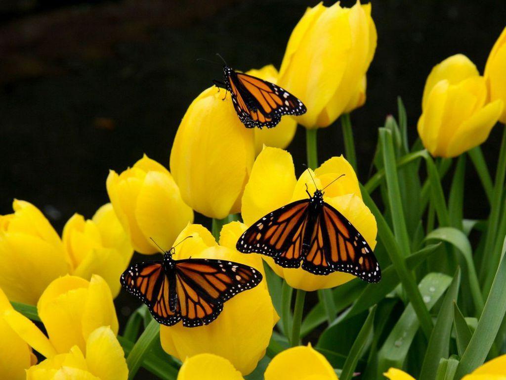 Butterfly Backgrounds | Hd Animal Wallpaper Butterfly Free ...