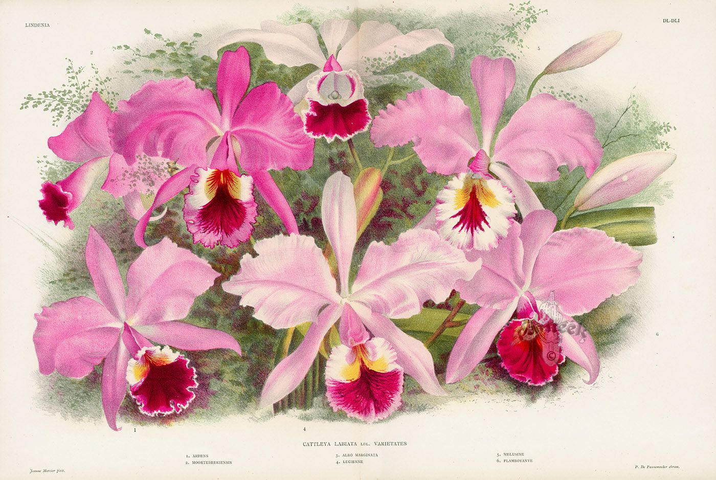 Cattleya Labiata From Linden Orchid Double Folio Prints Orchids Cattleya Orchid Botanical Prints