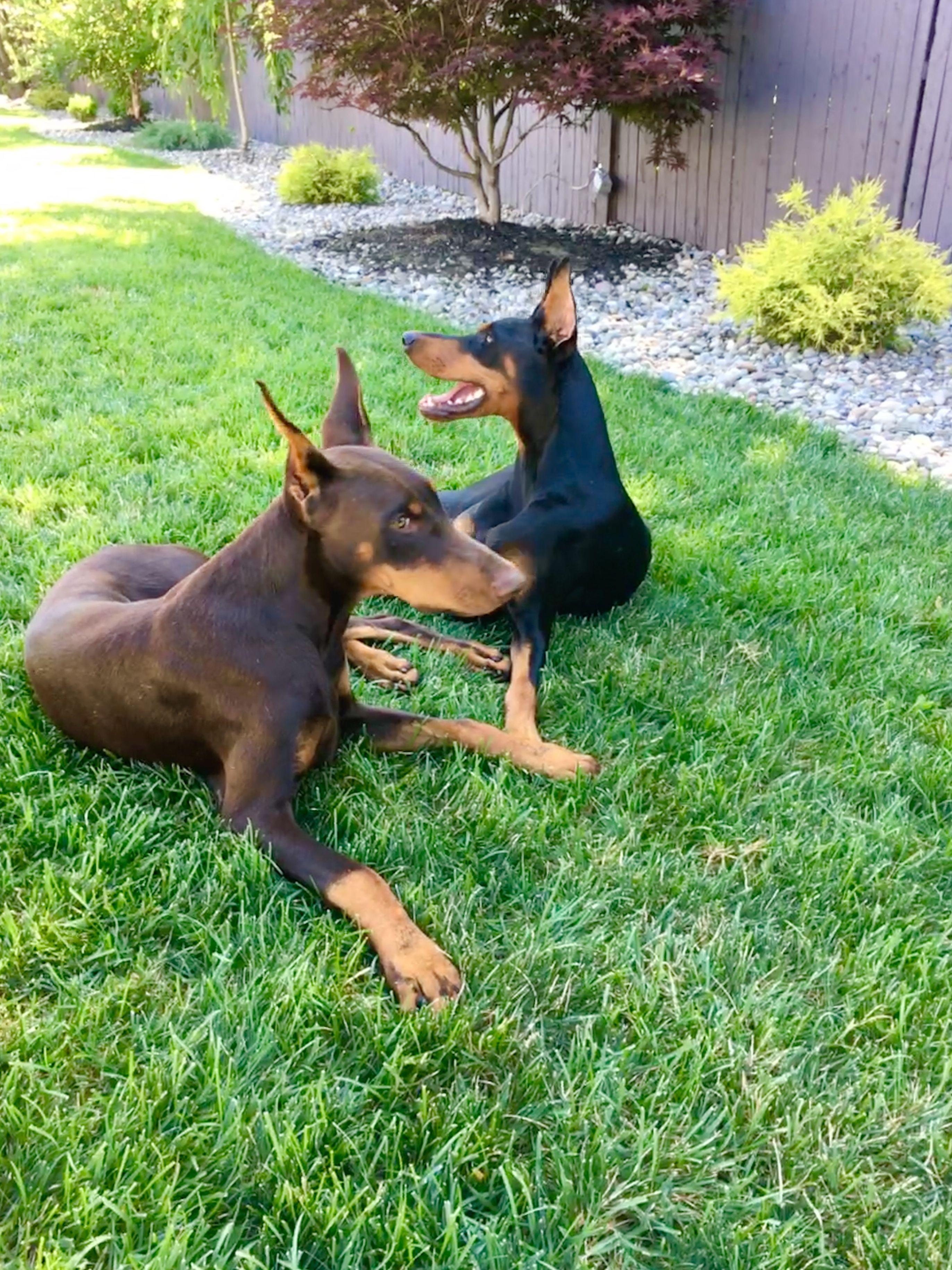 Pin By Tina Rowe Dunn On Dobermans Doberman Doberman Pinscher Dogs