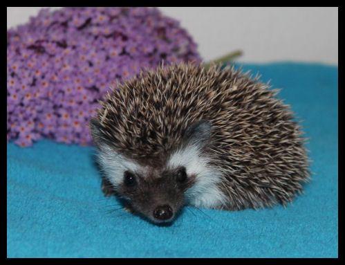 Bloominhedgehogs Com Igel