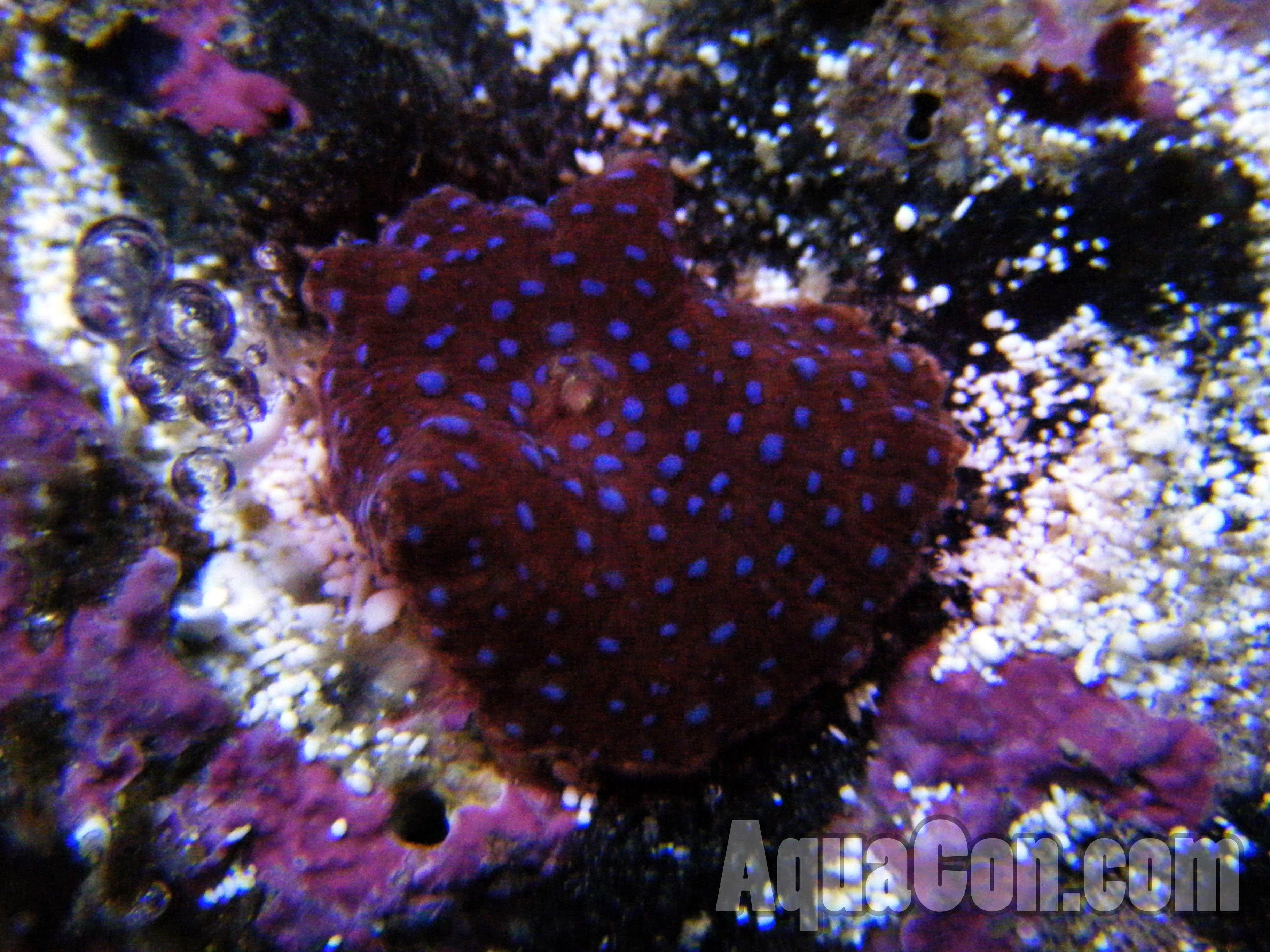 Mushroom Coral Reef Aquarium Mushroom Live Coral Corals For Sale Saltwater Aquarium Stuffed Mushrooms
