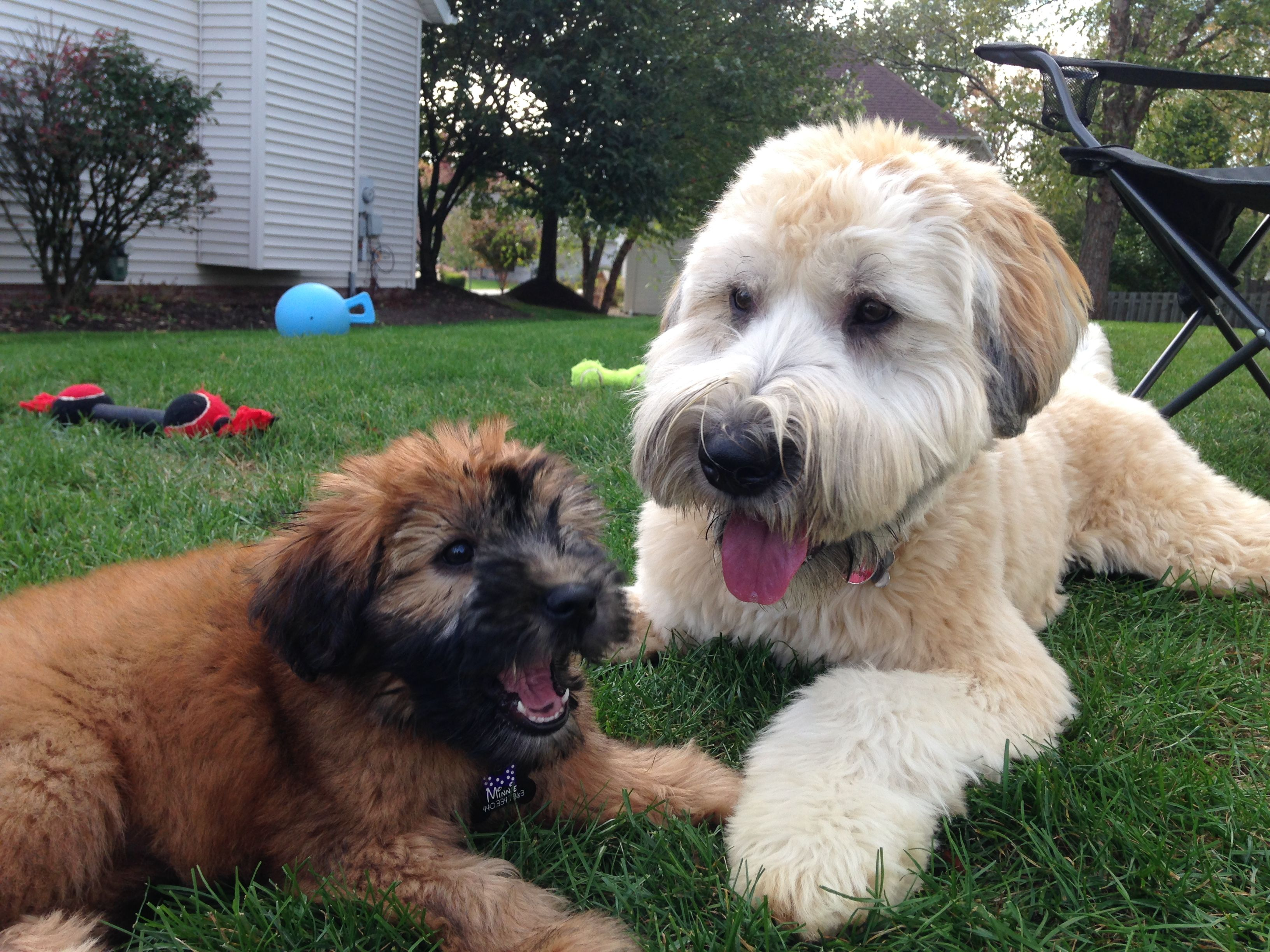 Soft Coated Wheaten Terrier Minnie 9 Weeks Pickles 11 Months