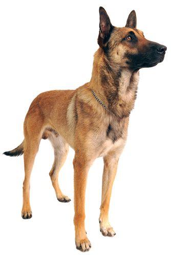 Belgian Malinois Dog Breed   Belgian malinois dog ...