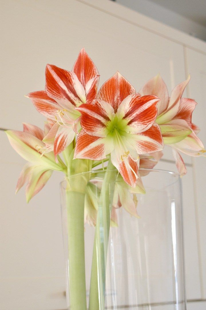 How To Get An Amaryllis To Flower Again Amaryllis Amaryllis Flowers Amaryllis Plant