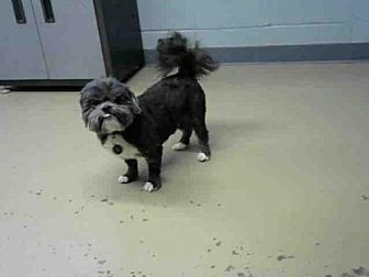 Tallahassee Fl Shih Tzu Meet Blackie A Dog For Adoption Shih
