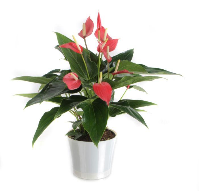 Giftige Zimmerpflanzen flamingoblumen als giftige zimmerpflanzen ideas house