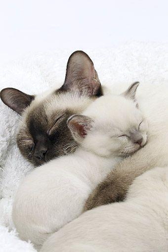 Cosy Refugium Kittens Cutest Sleeping Kitten Tonkinese Cat