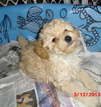 Male Purebred Toy Poodle Puppies Toy Poodle Puppies Puppies Poodle Puppy