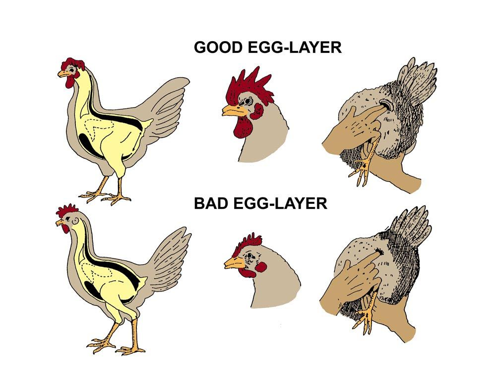 chicken egg production
