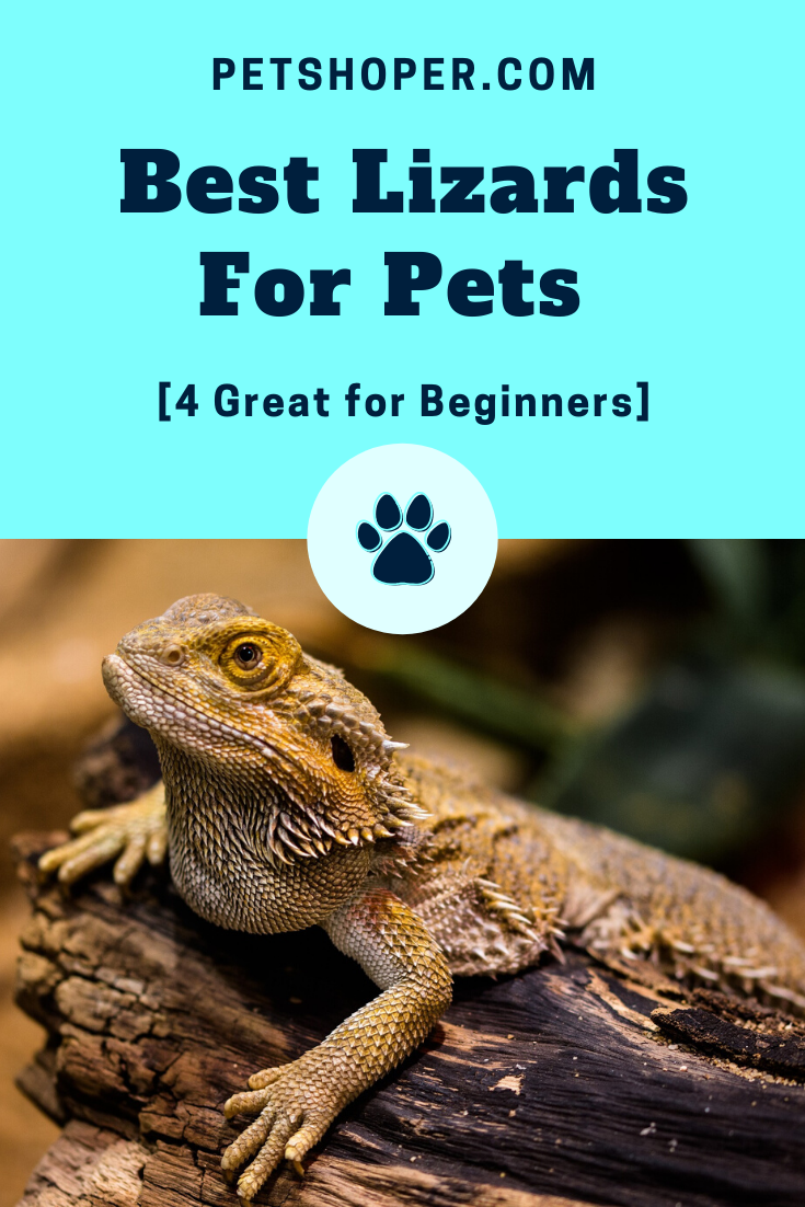Best Lizards For Pets [4 Great for Beginners] Blue