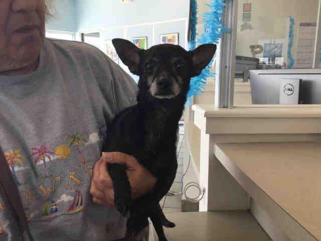 Chihuahua dog for Adoption in San Antonio, TX. ADN824400