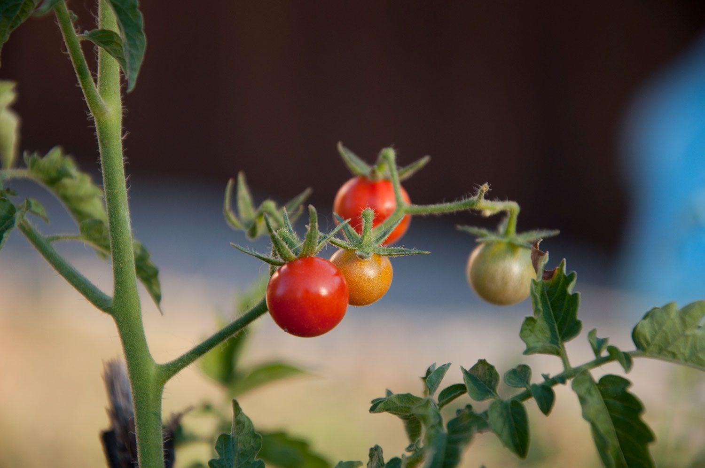 Organic food, 'untouched' (pesticide free) cherry tomato from my parents' garden on our weekend ranch near Belgrade   Organski zdrava hrana, 'netaknuti' (neprskani) cherry paradajz iz bašte na vikend ranču mojih roditelja nedaleko od Beograda   #organicfood #tomato #cherrytomato #serbia #souldfoodserbia #paradajz #rajcica #organskahrana #