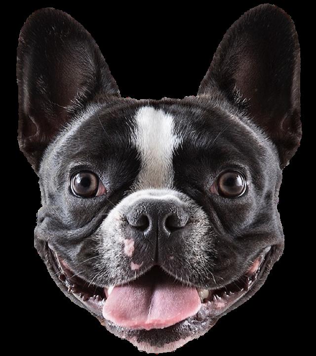 Stella The Frenchie French bulldog, Instagram dogs, Dog