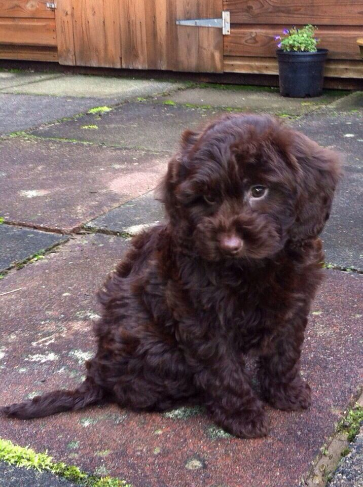 After Months Of Searching Our Chocolate Cockapoo Puppy Topsy