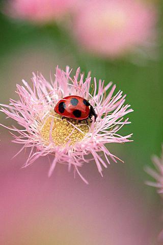 Ladybug Iphone Wallpaper Mariusz Dabrowski Blog Ladybug Ladybird Lady Beetle