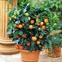 2 3 Year Old Dwarf Washington Navel Orange Tree