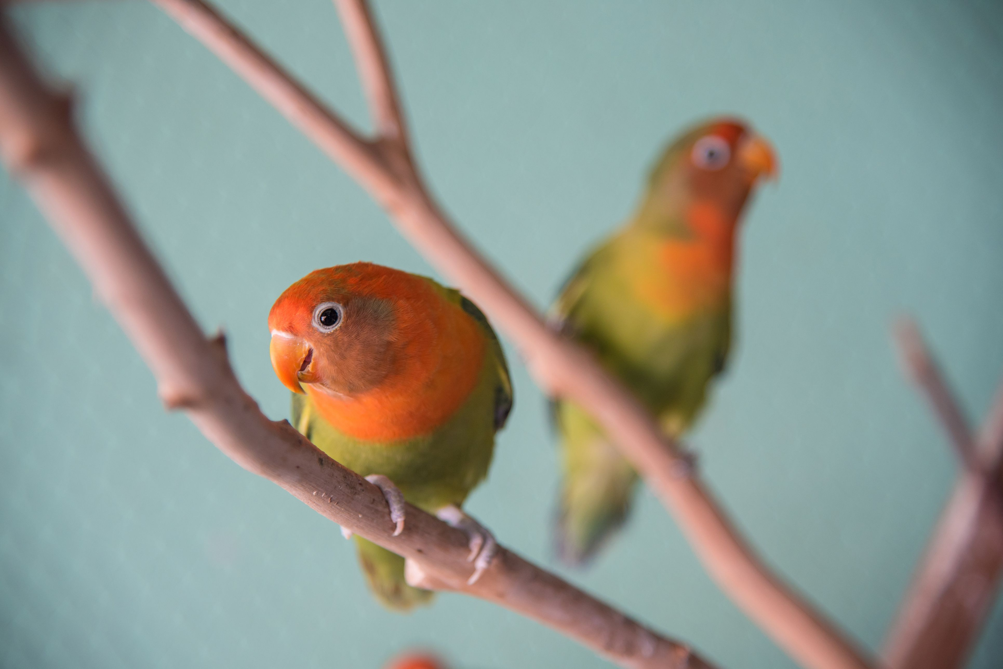 Lovebird lea Lea