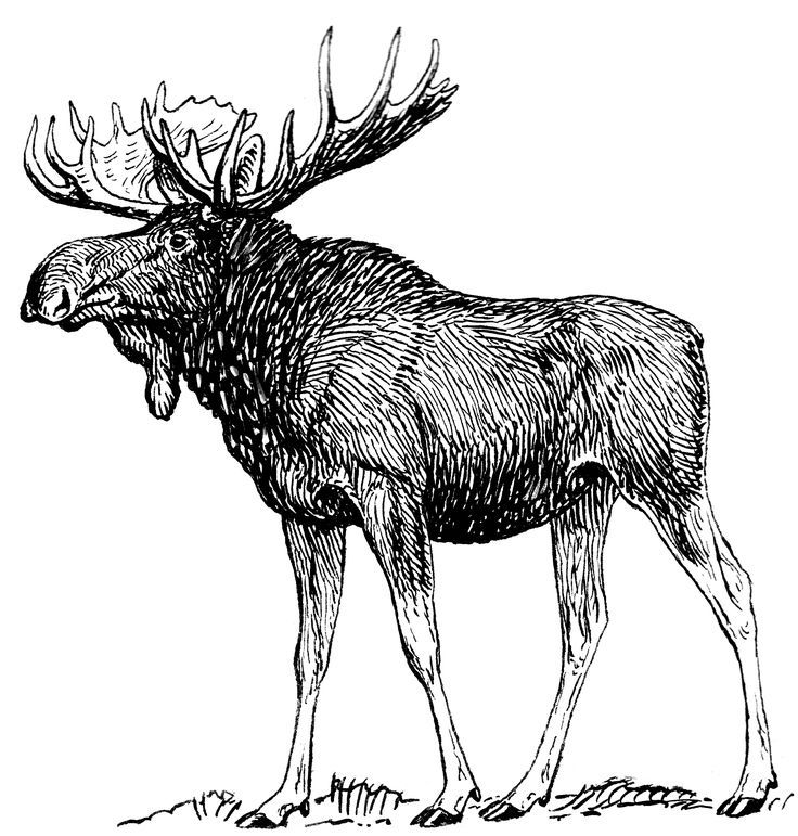 moose on Pinterest | Muscle Anatomy, Skull Drawings and Google ...