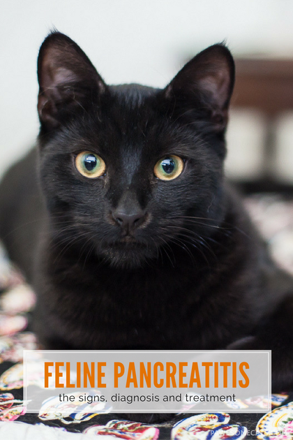 Pancreatitis and Your Cat Cat training, Cat care, Cats
