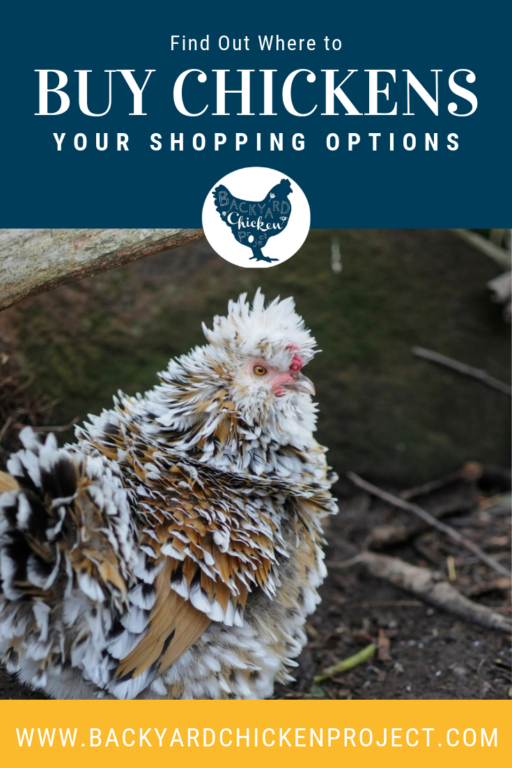 Where Can I Buy Chickens? Exploring Your Options   Buy ...