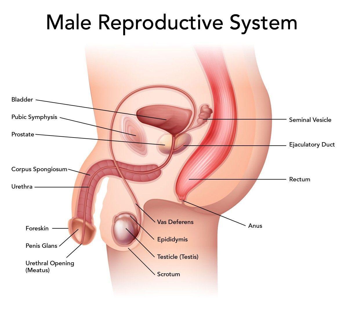 Male Female Anatomy Diagrams Human Anatomy Drawing Reproductive