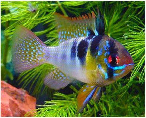 Dwarf German Blue Ram Cichlid Arizona Aquatic Gardens In 2020 Aquarium Fish Cichlid Aquarium Tropical Fish Tanks