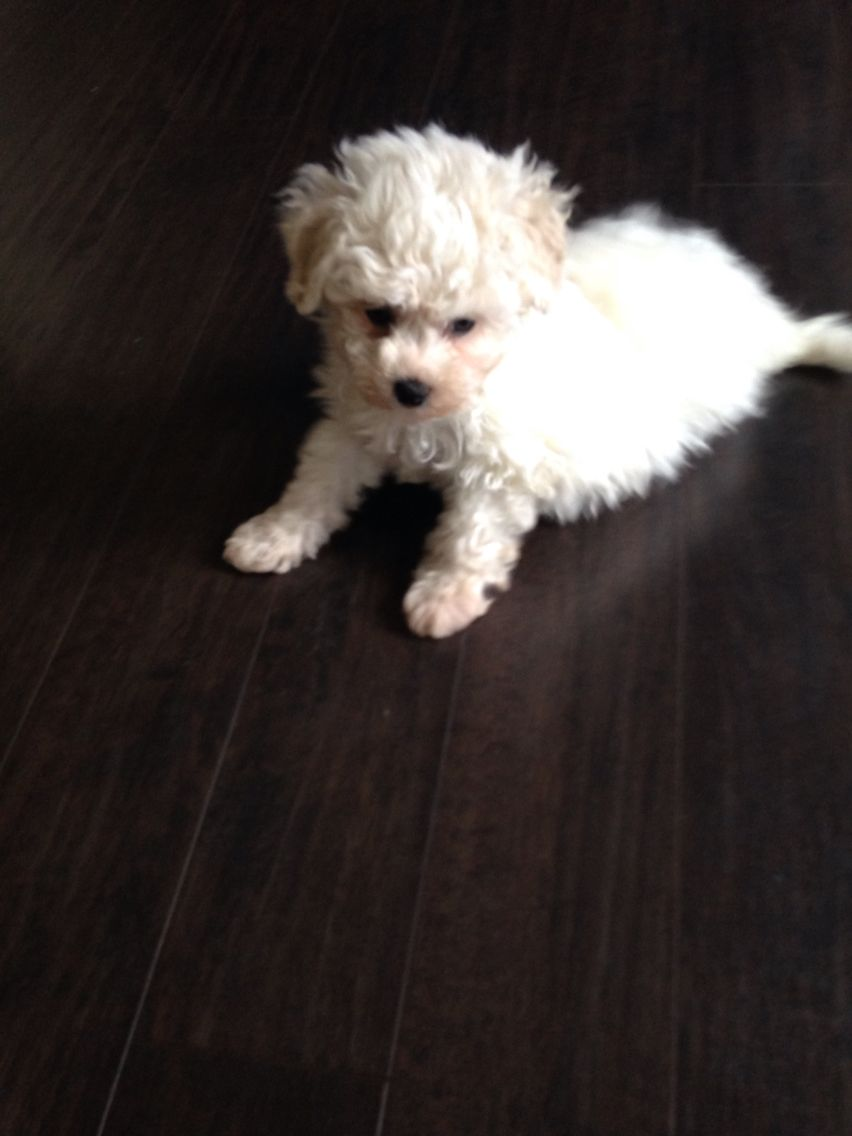 Maltipoo Puppy 8 Weeks Old Maltipoo Puppy Puppies Dogs