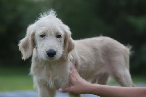 Goldendoodle Puppy For Sale In Glasgow Ky Adn 50478 On