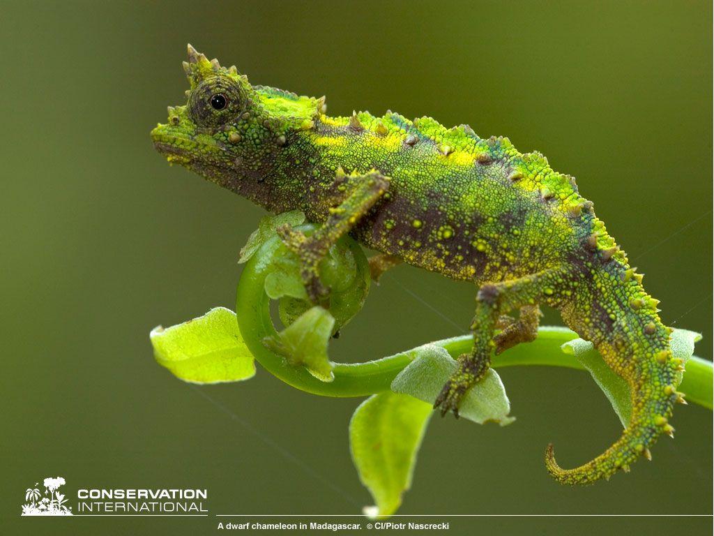 Madagascar Dwarf Chameleon The Natural World Pinterest