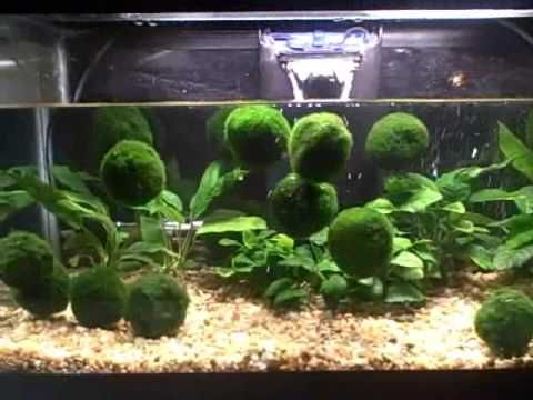 Floating marimo moss balls these are so neat for the for Betta fish moss ball