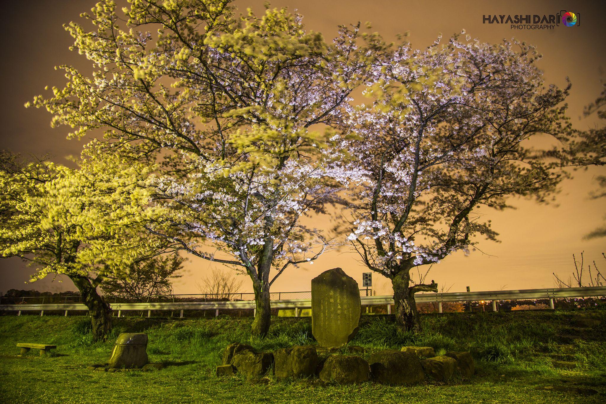 Sakura by Dario Hayashi on 500px