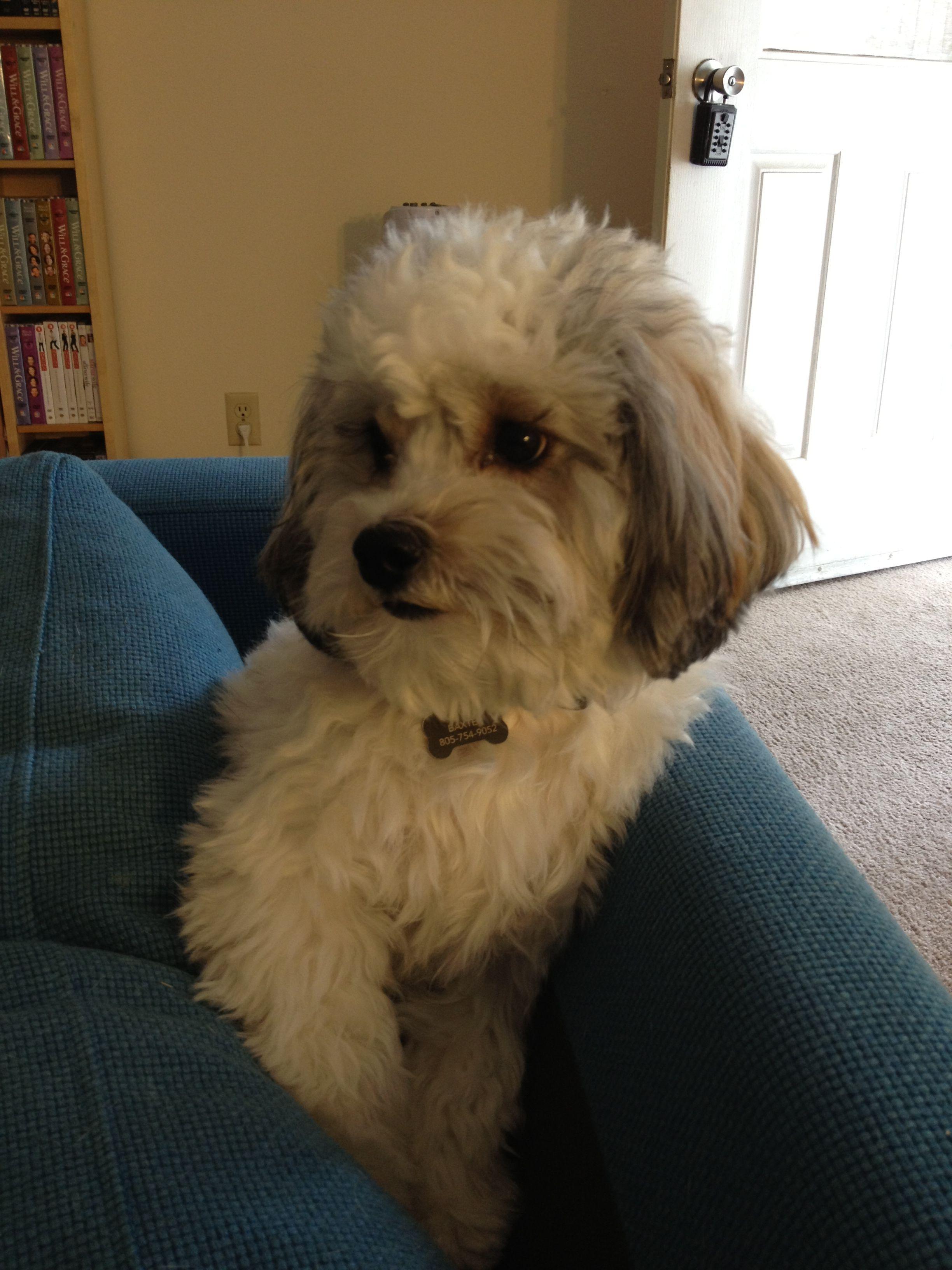 Havanese puppy named baxter puppy names havanese
