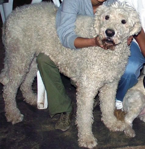 A Standard Poodle Great Dane Mix That Is One Big Dog I Think
