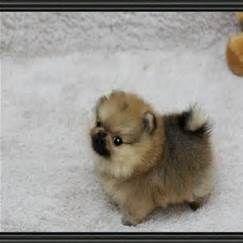 Full Grown Teacup Pomeranian Husky Bing Images Pomeranian