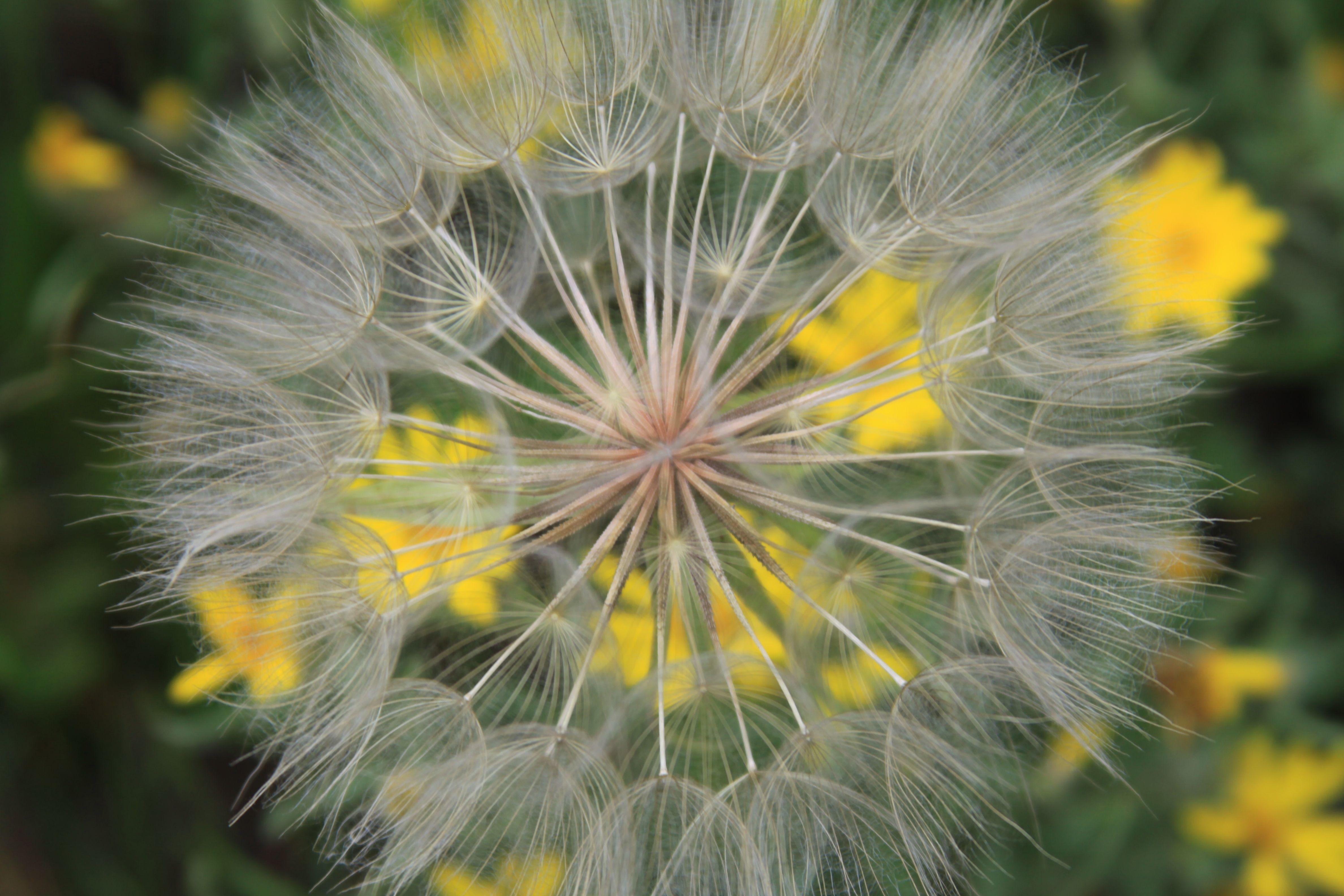 Dandelion in Crested Butte, CO