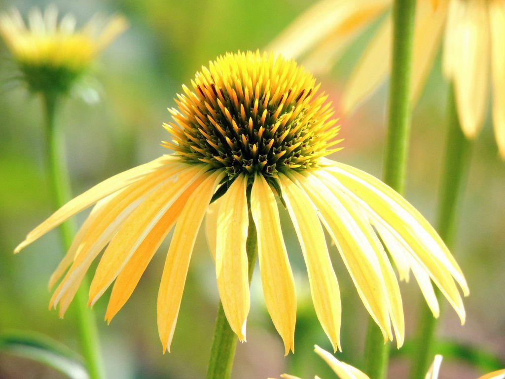 Yellow Cone Flower By Dmgutheryiantart On Deviantart