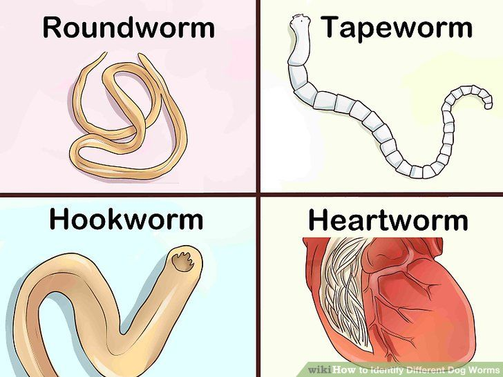 How To Identify Different Dog Worms Worms In Dogs Different Dogs Dogs