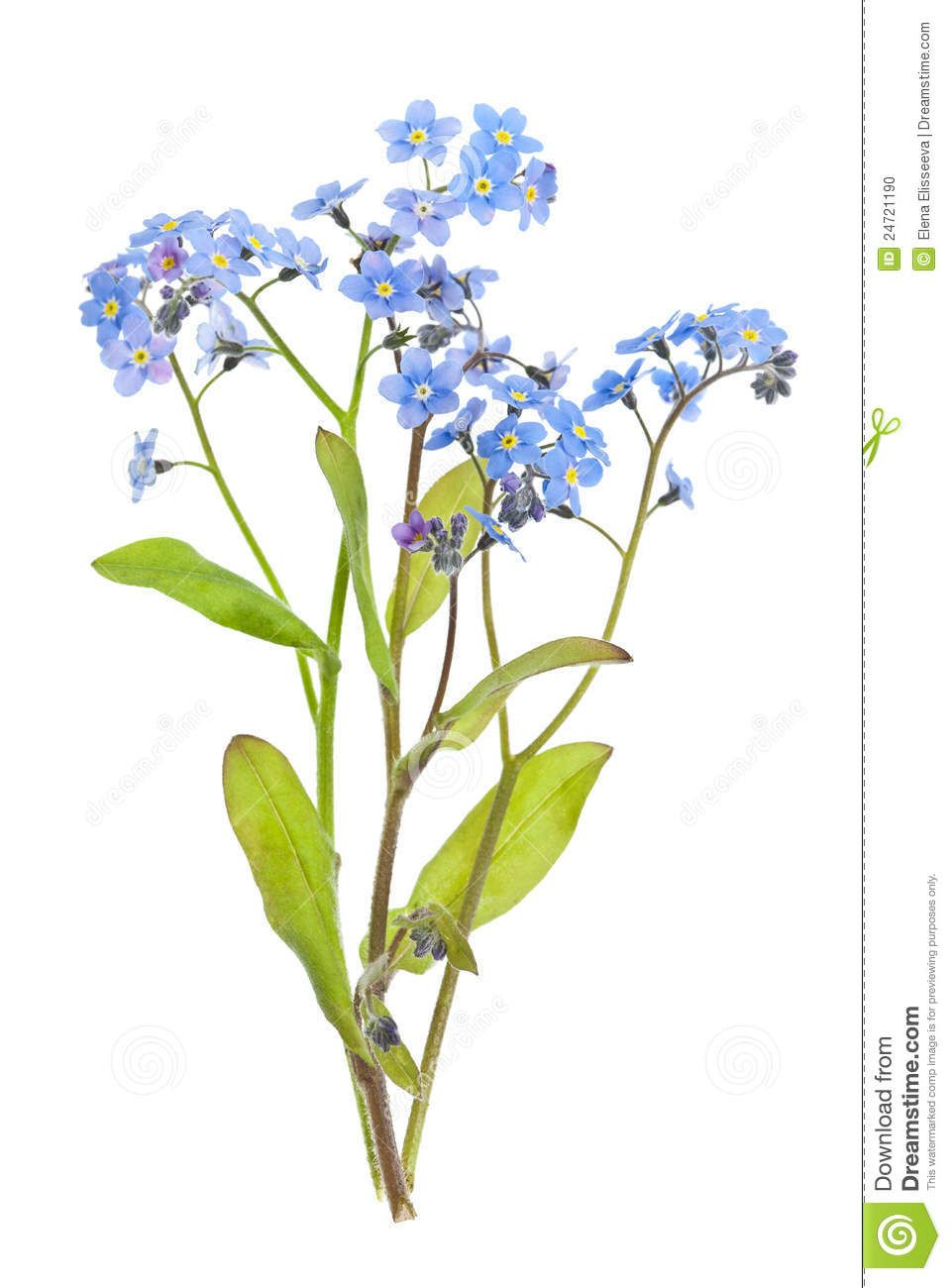 Forget Me Not Flowers On White Download From Over 26 Million High